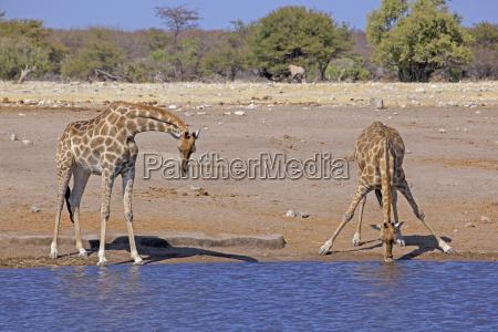 africa southern africa namibia etosha national