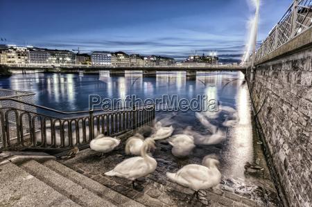 swans shadows at geneva lake and