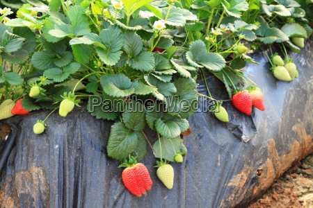 strawberries in the greenhouse farming