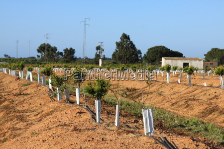 young orange trees planted in rows