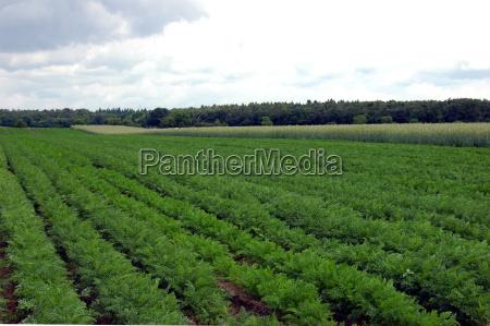 carrots growing in rheinzabern pfalz