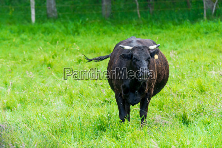 black cow in a green pasture