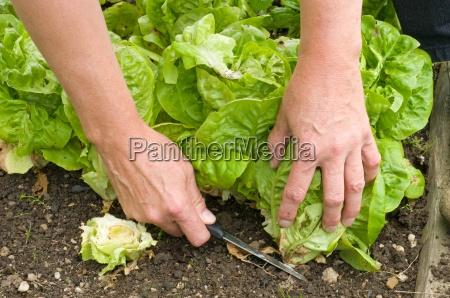 lettuce harvest lifting salad