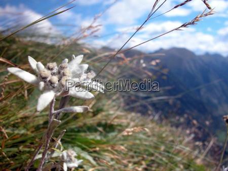 edelweiss edelweis edelweiss mountain alps mountain