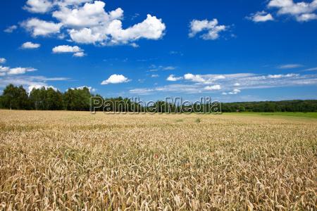 corn field corn field under