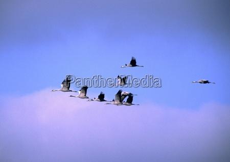 blue flight animal bird birds wing