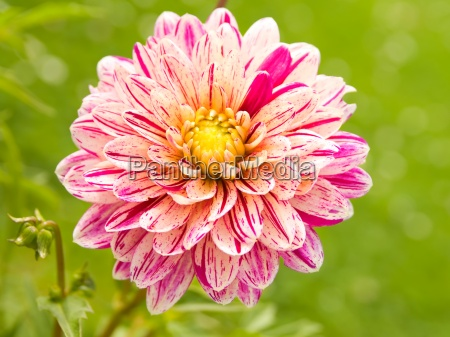 pink dahlia with raindrops