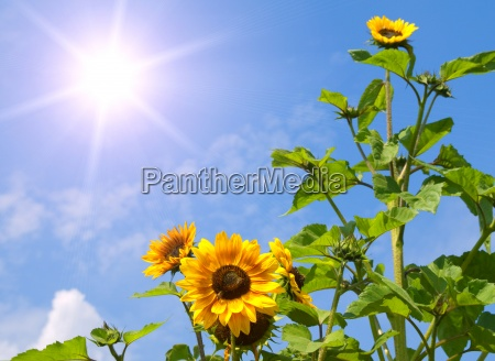 sunflowers on blue sky with sun