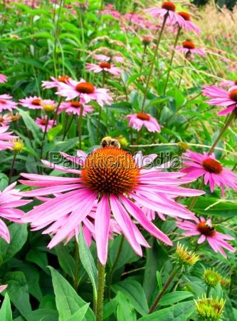 flor do cone no campo