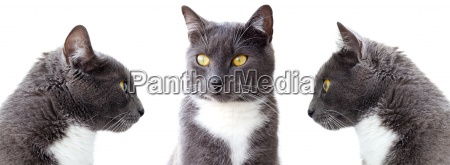 gray cats isolated on white background