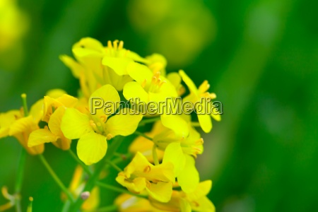 rapeseed brassica rapa rape flower on