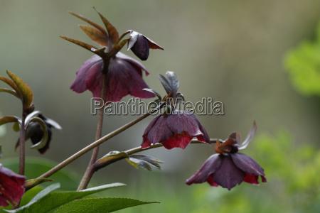 christrose, helleborus, niger, nieswurz, snow, rose - 13285440