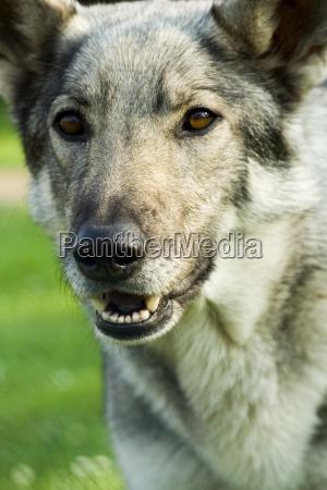 danger animal pet mammal teeth animals