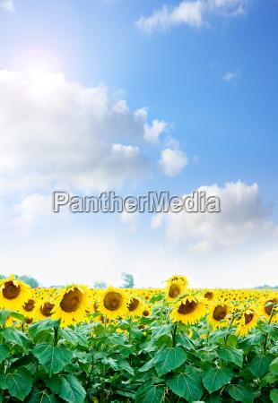 yellow, sunflowers - 13301716