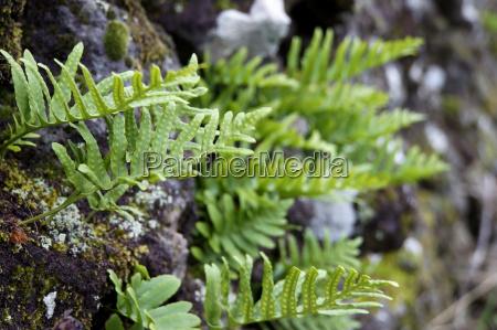 southern polypody polypodium cambricum