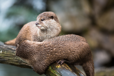 an oriental small clawed otter aonyx