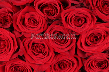 background red roses for valentines day