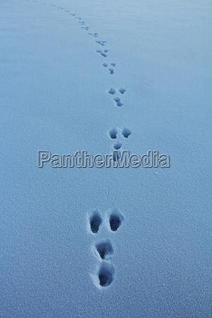 hasespuren in the snow