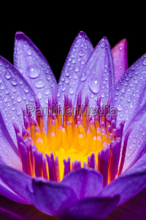 macro yellow carpel of purple lotus