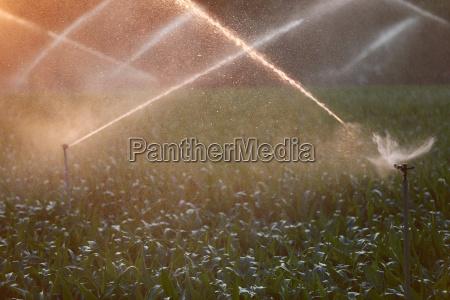 spray rain when irrigating maisfeld in