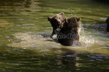 brown bear ursus arctos mammalia bears