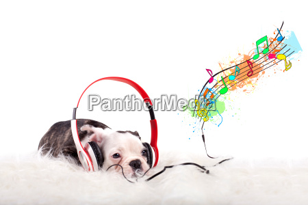 baby bulldogge is listening to music