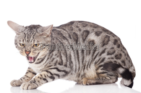 spitting bengal cat