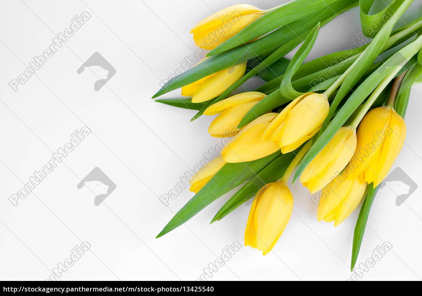fresh, yellow, tulips - 13425540