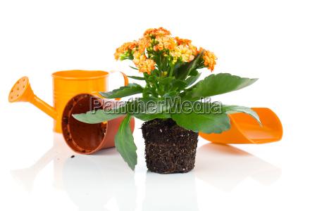 kalanchoe flower in a green watering