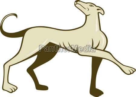 greyhound dog marching looking up cartoon