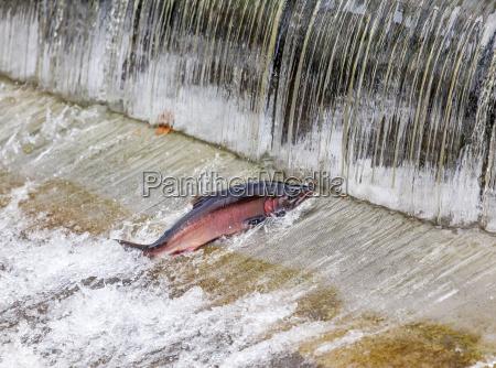 chinook coho salmon jumping issaquah hatchery