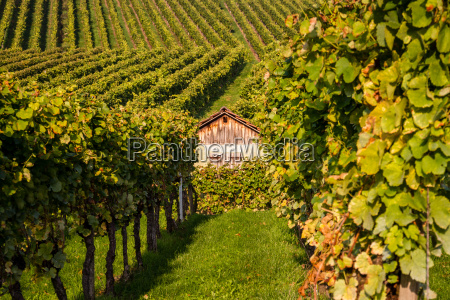 inside the vineyard