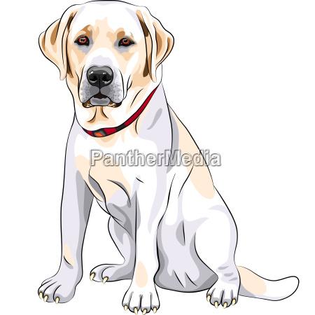 vector sketch yellow dog breed labrador