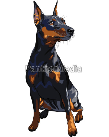 vector dog serious miniature pinscher breed