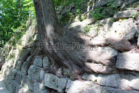 huge roots of the tree growing