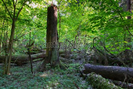 old spruce tree stump in summer