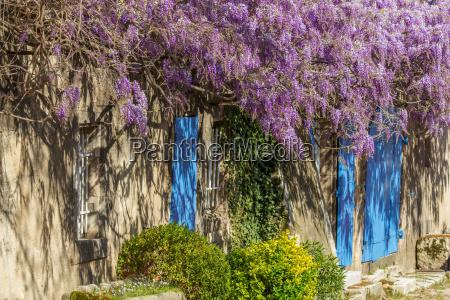 wisteria house wall