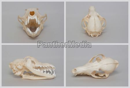 rendering of naked fox skull trophy