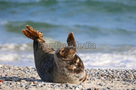 grey seal halichoerus grypus helgoland schleswig