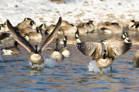 flock of canada geese taking off