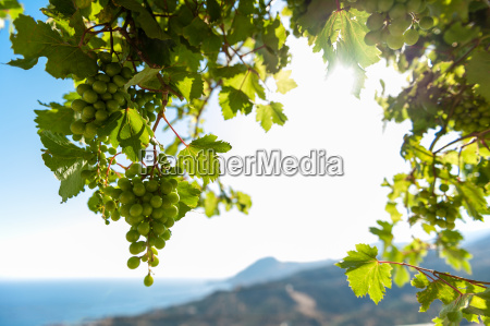 grapes in the backlight