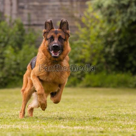 shepherd runs