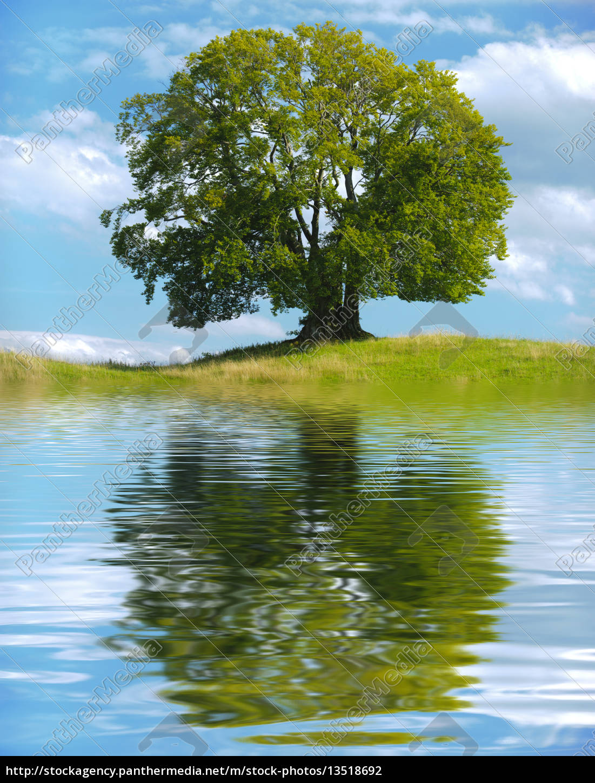 big, old, tree, as, a, single - 13518692
