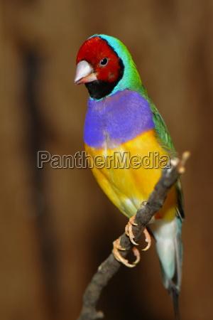 superb colors exotic fink