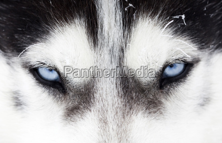 close-up, shot, of, husky, dog, blue - 13525084