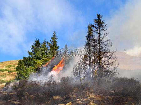 coniferous forest in fire