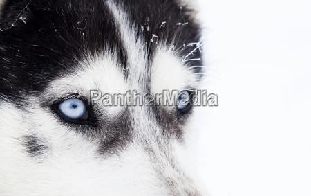 close up shot of husky dog