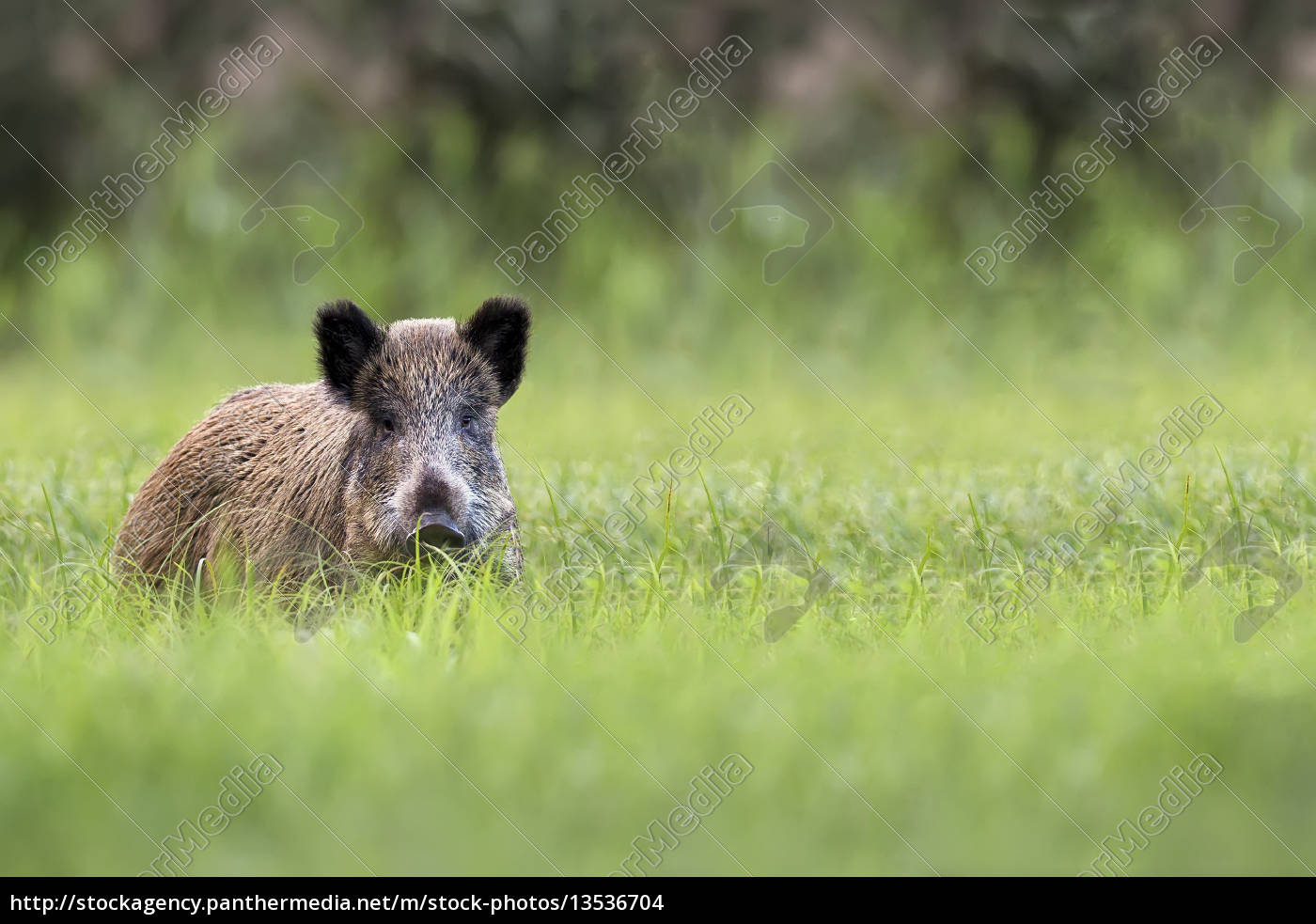 wild, boar, in, the, clearing - 13536704