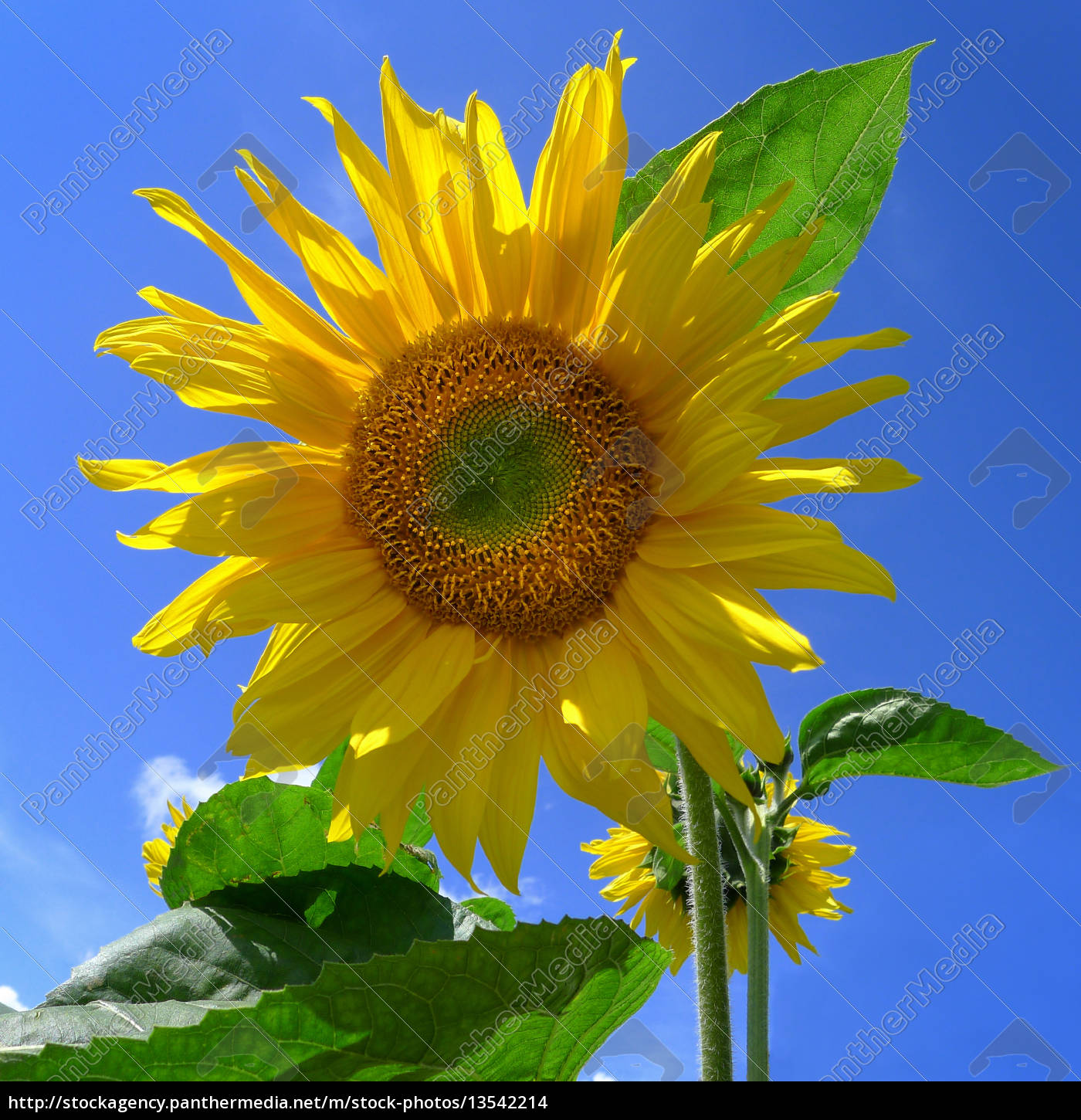 young, sunflower, against, a, blue, sky - 13542214