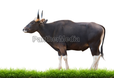 male banteng with green grass isolated